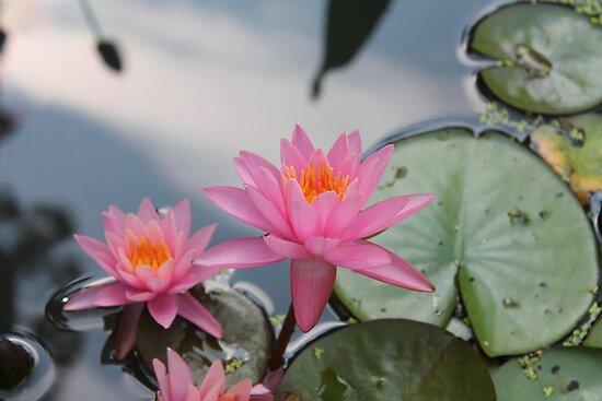 Water lilies, Kenilworth Aquatic Gardens by Kelly Morris