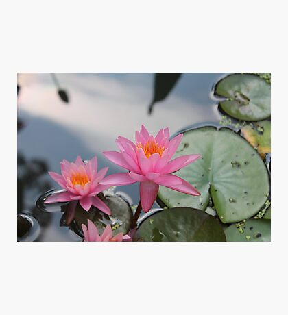 Water lilies, Kenilworth Aquatic Gardens Photographic Print