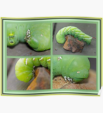 Tobacco Hornworm - Manduca sexta - Six Spotted Hawkmoth Poster