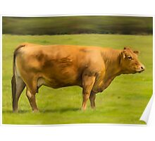 Limousin Cow Poster