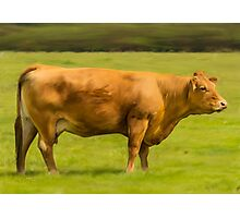 Limousin Cow Photographic Print