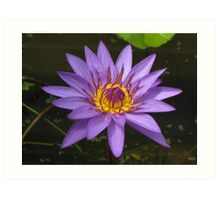 Water lily, Kenilworth Aquatic Gardens Art Print