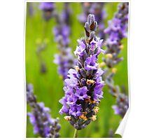 Lavender Bud Poster