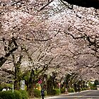 Canopy of Cherry Blossoms by Patty Boyte