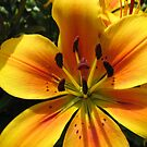 Sunlit Orange and Gold Lily - Macro Untouched by kathrynsgallery