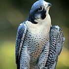 Peregrine Falcon by Chris Coates