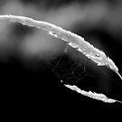 Sunlit WebGrass by Adam Kuehl