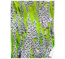 Macro Lavender Poster
