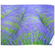 Lavender Field 3 Poster