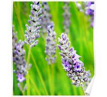 Lavender 2 Poster