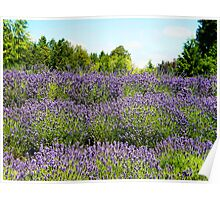 Lavender 3 Poster