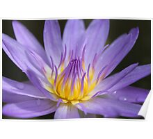 Water lily, Kenilworth Aquatic Gardens Poster