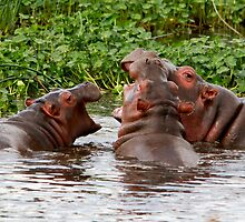 Teenager Hippos Playing  ( Hippopotamus amphibius ) Ngorongoro Crater Tanzania by john  Lenagan
