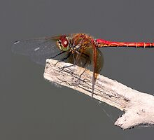 Meadowhawk Ready for Flight by Wolf Read