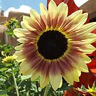 Sunflower Close-up, Santa Fe, New Mexico by lenspiro