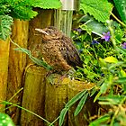 Young Blackbird by Simon Duckworth