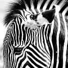 Detail, Zebra by Peggy  Woods Ryan