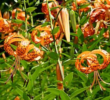 Turk's Cap Lilies - Lilium superbum L. - Nodding Beauties by MotherNature