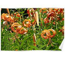 Turk's Cap Lilies - Lilium superbum L. - Nodding Beauties Poster