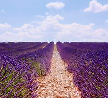 lavender field by lucyliu
