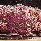 Spectacular Pink Rhodendron Tree by seeingred13