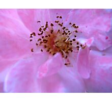 Governor Generals Roses #23 Photographic Print