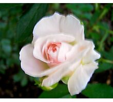 Governor Generals Roses #24 Photographic Print