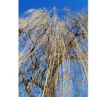 Mourning Willow Photographic Print