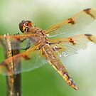 Male Painted Skimmer by William Brennan
