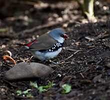Diamond Firetail by GP1746