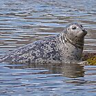 Seal, Katmai Island, Alaska, USA by Margaret  Hyde