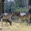 Foal Stripes by Shaun Colin Bell
