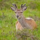 Red Deer Stag by M.S. Photography & Art