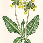 Cowslips by Sam Burchell