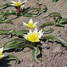 Tulipa tarda Stapf  by Elena Skvortsova