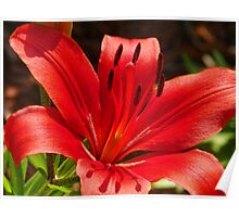 Red Garden Lily Poster