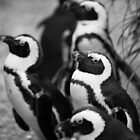 Penguins by ChrisMillsPhoto