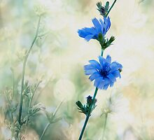 Chicory by NorbertG