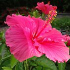 Pink hibiscus. by rondo620