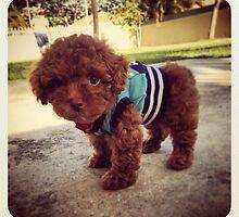 Mini poodle by dogkiki