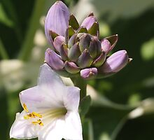 Hosta and Buds by Linda  Makiej