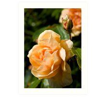 Peach Rose and Bud Art Print