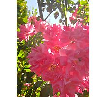 Governor Generals Roses #26 Photographic Print
