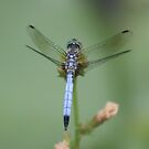 dragonfly by Jason Dymock