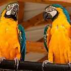 Blue & Yellow Macaw #1 by Jory Authement