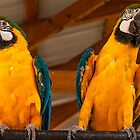 Blue & Yellow Macaw #2 by Jory Authement