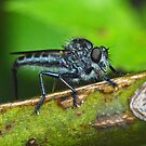 Robber Fly by William Brennan