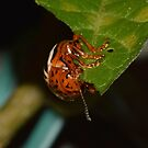 False Potato Beetle by William Brennan