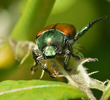 Japanese Beetle by William Brennan
