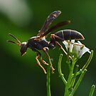Wasp by William Brennan